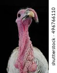 Portraits Of Turkey Cocks Gray...