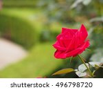 Stock photo rose 496798720
