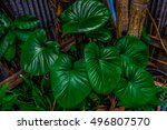 Small photo of Alocasia cucullata leafs in home garden.
