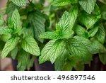 growing spearmint leaves in the ... | Shutterstock . vector #496897546