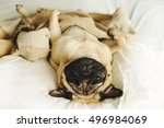 Funny Pug Lying In Blancket
