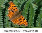Comma Butterfly On Dark Green...
