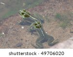 green frog floating in the water | Shutterstock . vector #49706020