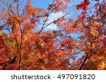 colorful japanese autumn on... | Shutterstock . vector #497091820