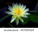 Close Up Blooming Waterlily Or...