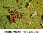 Duckweed Flowering Plants...