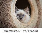 playful ragdoll kitten | Shutterstock . vector #497126533