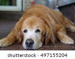 golden retriever sleep. | Shutterstock . vector #497155204
