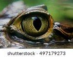 Caiman Crocodile Eye