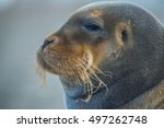 Small photo of Close up of Bearded seal on ice in arctic Svalbard