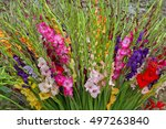 Closeup Of Colorful Gladiolus...