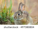 A European Rabbit  Oryctolagus...