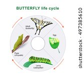 Butterfly Life Cycle. From...