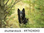 black dog in the woods | Shutterstock . vector #497424043
