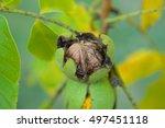 Walnut On Branch Twig Popping...