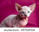 sphinx hairless cat. egypt cat... | Shutterstock . vector #497539534
