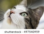 Close Up Of Domestic Tabby Cat