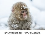 snow monkeys in a natural onsen ... | Shutterstock . vector #497603506