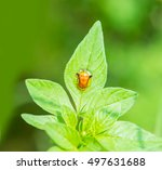 Golden Tortoise Beetle On Leaves