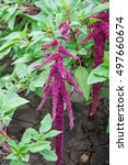 Small photo of Amaranth is one of the family Amaranthaceae
