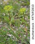 Sun Spurge   Euphorbia...