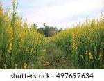 Crotalaria Flower