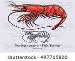 northern prawn  pink shrimp.... | Shutterstock .eps vector #497715820