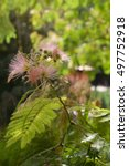 Small photo of Flowering Albizia julibrissin