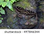Emperor Swallowtail  Papilio...