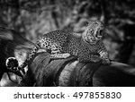Leopard Resting On A Tree  Lak...
