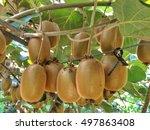 Ripe Fruits Of Kiwi Plant...