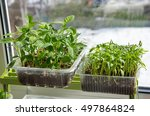 seedlings of peppers and...   Shutterstock . vector #497864824