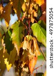 Small photo of Tatarian maple, Acer tataricum, with seeds - samara