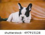 cute little french bulldog... | Shutterstock . vector #497915128