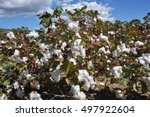 cotton plant ready for harvest... | Shutterstock . vector #497922604