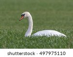Swan On A Meadow
