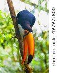 common toucan bird sitting on... | Shutterstock . vector #497975800