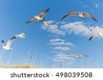 Sea Gulls Over Sand Dunes In...