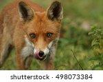 A Hunting Fox  Vulpes Vulpes .