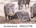 baby peccary with family | Shutterstock . vector #498151798