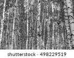 birch forest background  black...   Shutterstock . vector #498229519