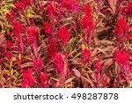 Red Cockscomb Flower Field