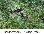 Small photo of Golden Eagle (Aquila chrysaetos) male and female sit on a branch in Mora Beach, Washington state, USA - serial picture 1 of 4