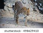 Far Eastern Leopard. Portrait...
