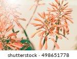 Beautiful Aloe Vera Flowers...