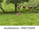 herd of mother elk with spotted ...   Shutterstock . vector #498715690