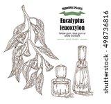 hand drawn eucalyptus leaves... | Shutterstock . vector #498736816