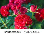 Beautiful Red Rose Growing Fro...