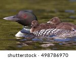 Common Loon  Gavia Immer ...