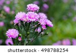 Pink Small Chrysanthemum...